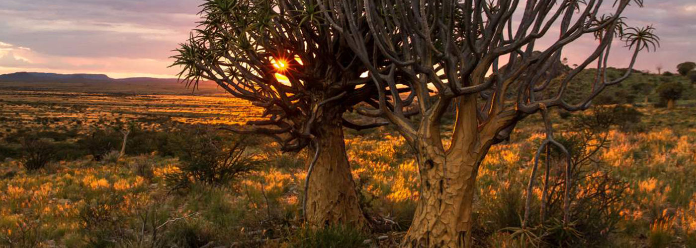 Quiver trees | African Vineyard | Upington & Keimoes Accommodation